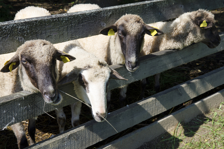 penned: The sheeps in pens at the farm in sunny day.