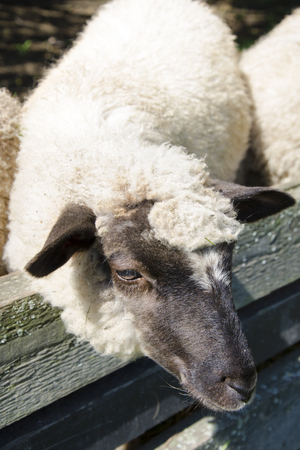penned: The sheep in pens at the farm in sunny day.