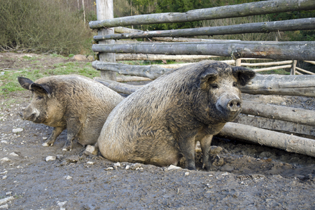 brood: The mangalitsa pigs. The brood is developed from older types of Hungarian pig crossed with the European wild boar and serbian breed in Austro-Hungary in 19th century. Stock Photo