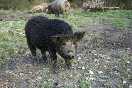 brood: The mangalitsa pig. The brood is developed from older types of Hungarian pig crossed with the European wild boar and serbian breed in Austro-Hungary in 19th century.