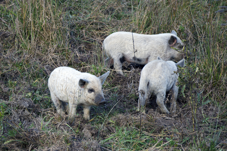 brood: The young of mangalitsa pig. The brood is developed from older types of Hungarian pig crossed with the European wild boar and serbian breed in Austro-Hungary in 19th century.
