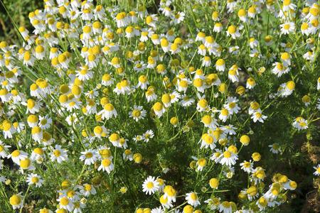 matricaria: The wild chamomile, Matricaria chamomilla. Stock Photo