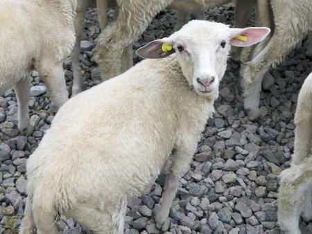 pasen schaap: Het één jaar oude lam op de boerderij