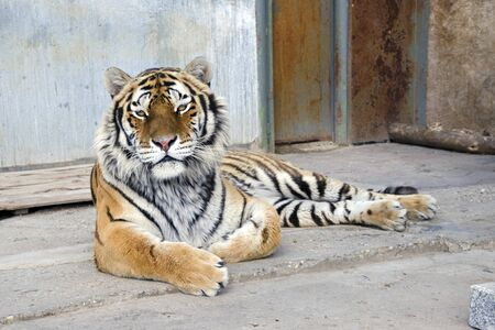 captivity: The siberian tiger (Panthera tigris altaica) in captivity