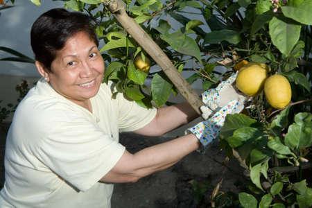 Happy senior Asian woman outdoors in garden wearing gardening gloves picking lemons from a lemon tree photo