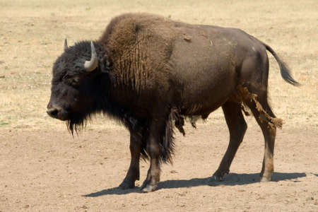 molting: Buffalo or bison with shedding or molting fur standing in on dry brown earth Stock Photo