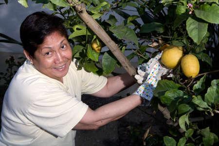 gardening gloves: Happy senior Asian woman outdoors in garden wearing gardening gloves picking lemons from a lemon tree Stock Photo