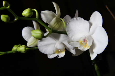 cried: White orchid on black background Stock Photo