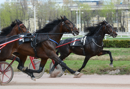 Harness horse racing. Horse trotter breed on speed on racetrack
