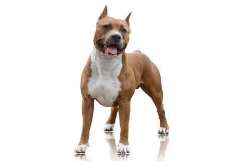 American Staffordshire Terrier standing on white background