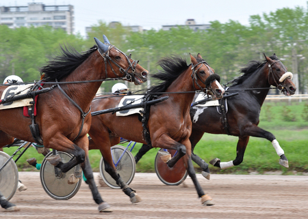 Three horses trotter breed in move on racetrack