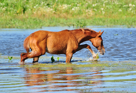 The red foal in water