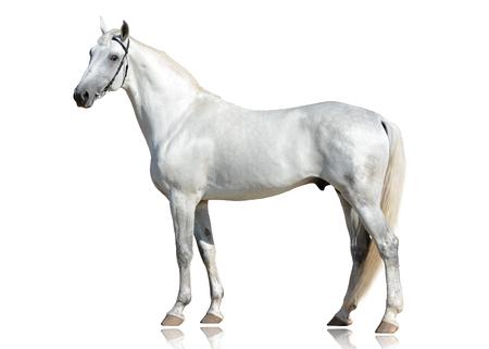 De mooie grijze draverras van Orlov van de hengsttrots status geïsoleerd op witte mening als achtergrond