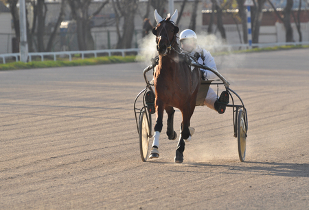 The bay horse trotter breed in motion on racetrack autumn