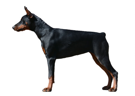 Doberman dog stand isolated on white background