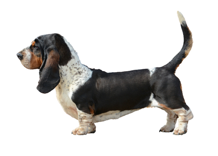 Basset Hound standing isolated side view