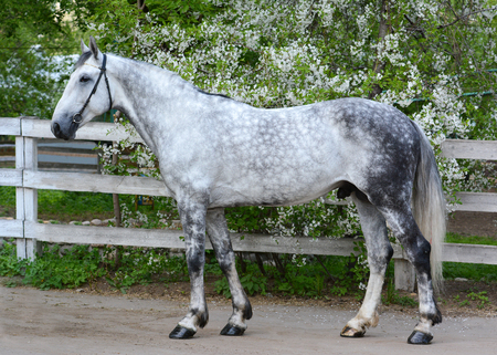 Gray horse orlov trotter breed on the background of a flowering Stock Photo