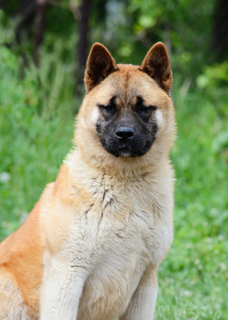 Portrait of a red American akita Stock Photo