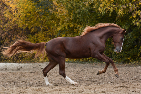 Beautiful red horse on freedom galloping autumn
