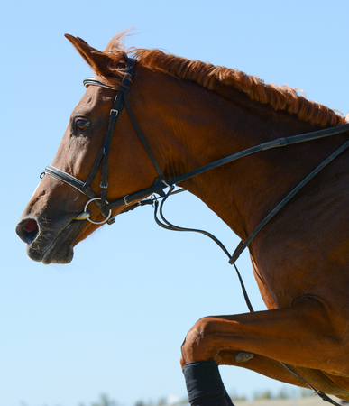 Portrait of a red sport horse jumping through a hurdle on a blue sky background Stockfoto