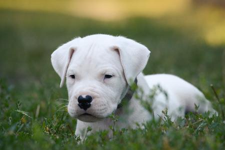 Portrait of a Puppy Dogo Argentino lies in grass.