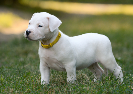 The sweet puppy Dogo Argentino standing in grass. Front view