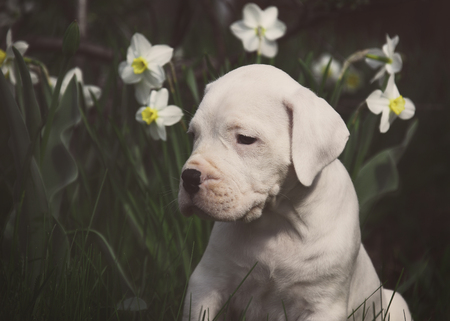 White cute puppy Dogo Argentino sitting in the daffodils