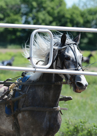 Portrait gray horse trotter breed start-to-machine and start-to machine Stock Photo