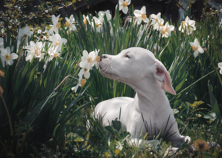 White puppy breathes in the scent of daffodils