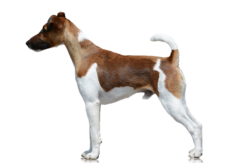 Smooth fox terrier stand isolated on white background Standard-Bild
