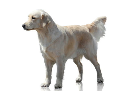 Labrador Retriever stand isolated on white background Standard-Bild