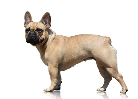 French bulldog isolated on white background. Side view