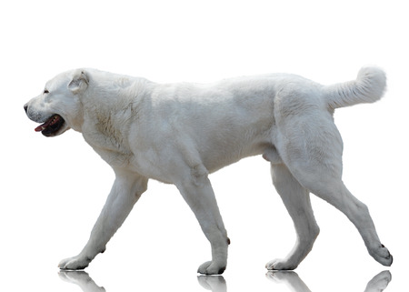 White Central Asian shepherd dog goes isolated on white background. Side view