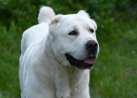 Portrait of a White Central Asian shepherd dog