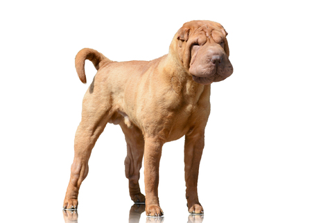 Red Shar Pei stand isolated on white background