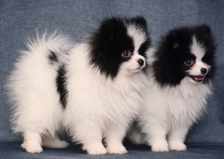 Cute Two Puppy of Spitz on gray background