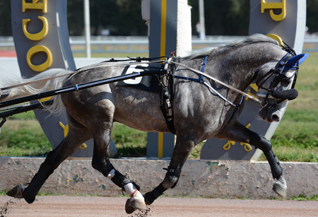 Beautiful gray horse trotter breed in motion on hippodrome Imagens