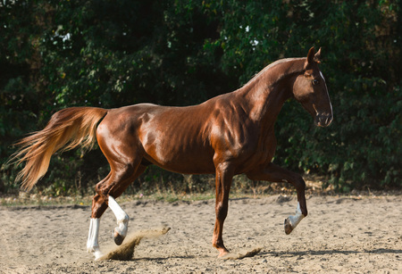 Beautiful red stallion on freedom summer 版權商用圖片