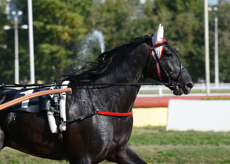 Portrait of a black horse trotter breed in motion on hippodrome.