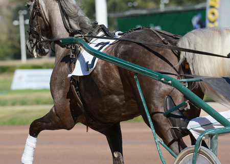 Muscles on a gray horse trotter breed. Harness horse racing in details.