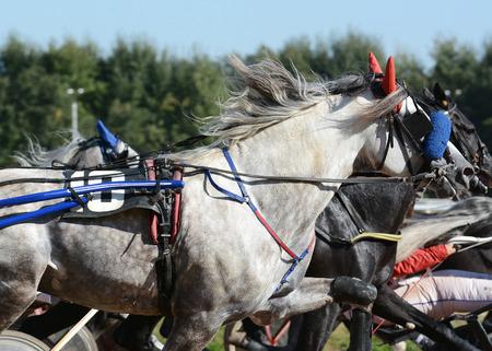 Portrait of a gray horse trotter breed in motion on hippodrome. Standard-Bild