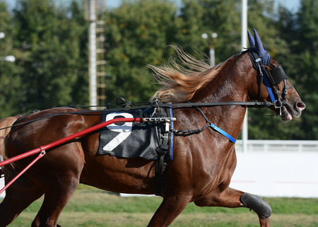 Portrait of a red horse trotter breed in motion on hippodrome.