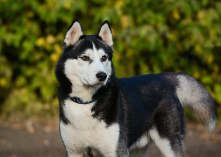 Strong black and white siberian husky dog standing on green background Standard-Bild