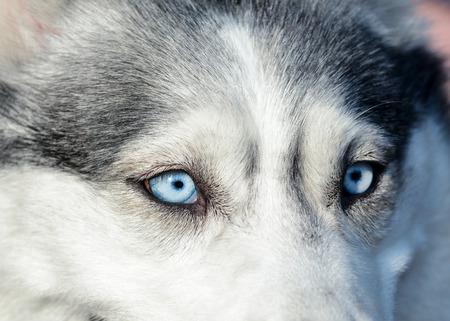 Beautiful blue eyes in a gray siberian husky dog. Macro view.