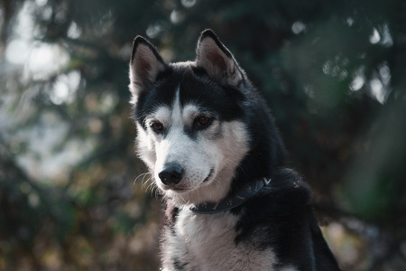 Portrait of a black and white siberian husky dog on green background