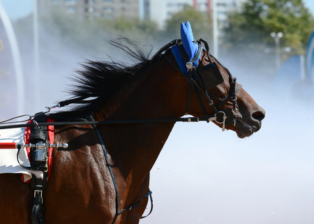 Portrait of a bay horse trotter breed in motion on hippodrome.