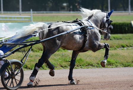The gray horse trotter breed in trotting on hippodrome. Harness horse racing Standard-Bild