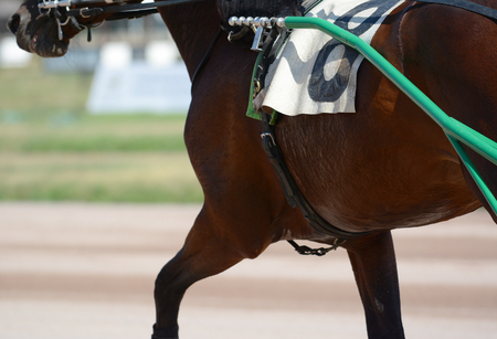 Muscles on a dark horse trotter breed. Harness horse racing in details. Standard-Bild