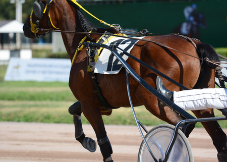 Muscles on a brown horse trotter breed. Harness horse racing in details. Standard-Bild