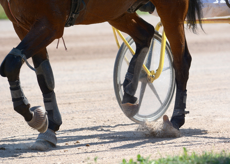 Legs of a brown trotter horse and horse harness. Harness horse racing in details